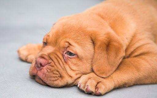Giardia orvosság caes, Bacteria giardia em cachorro